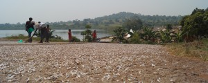 Dried fish, Uganda